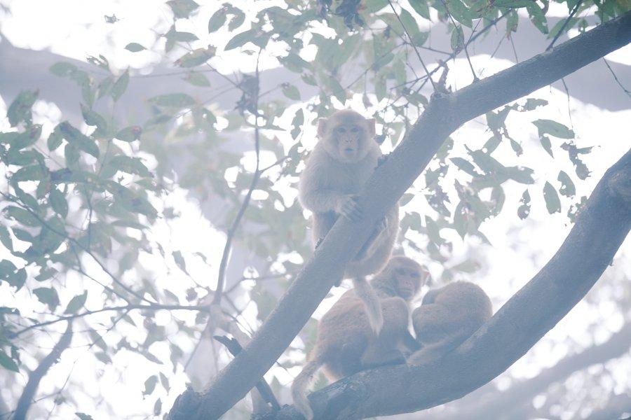 Monkeys Keoladeo National Park