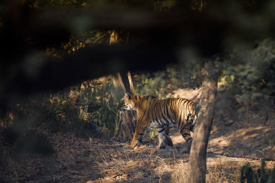Tigre Rathambore India